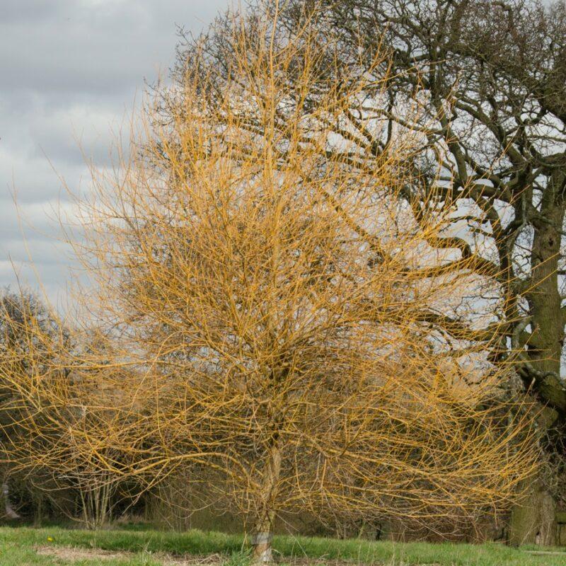 Salix alba 'Hutchinsons Yellow'