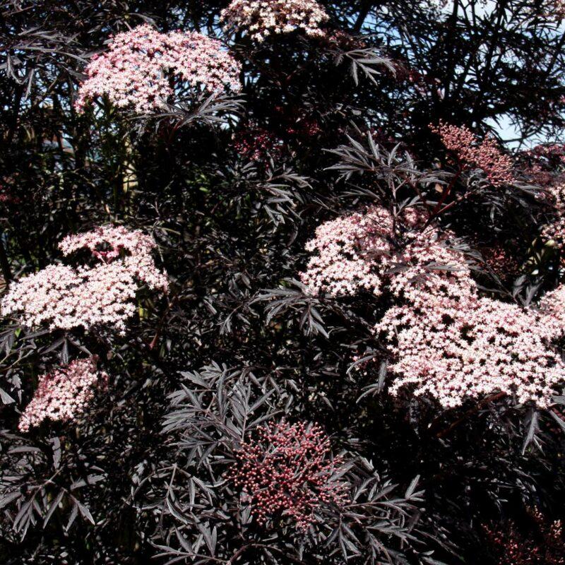 Sambucus nigra porphyrophylla BLACK LACE ® Eva