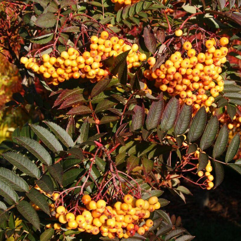 Sorbus 'Copper Kettle'