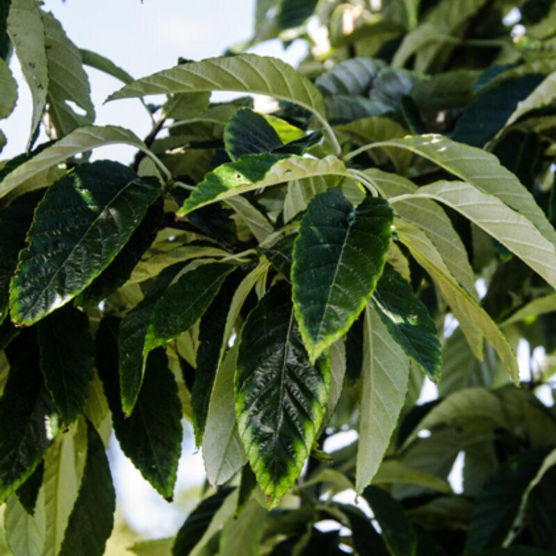 Sorbus folgneri 'Emiel' 2