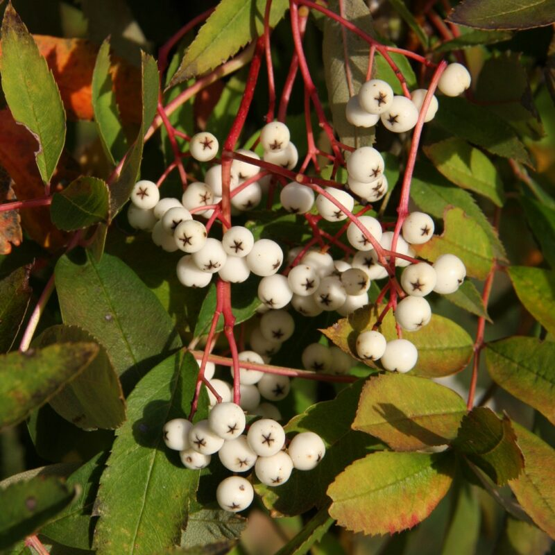Sorbus helenae