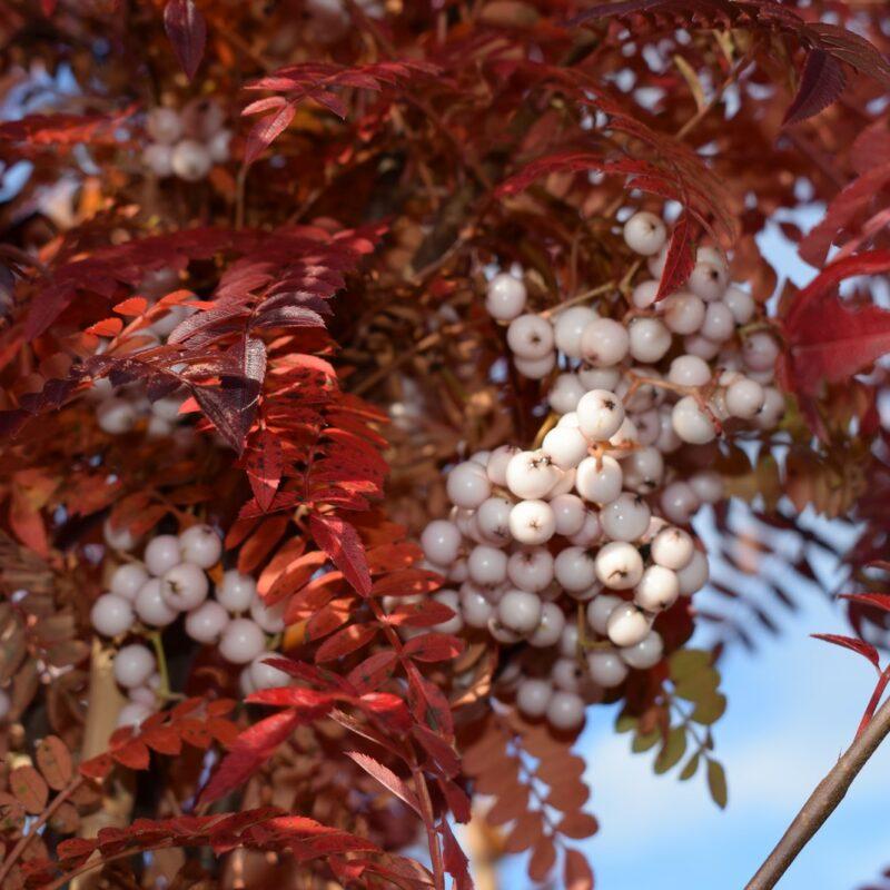 Sorbus pseudovilmorinii 1