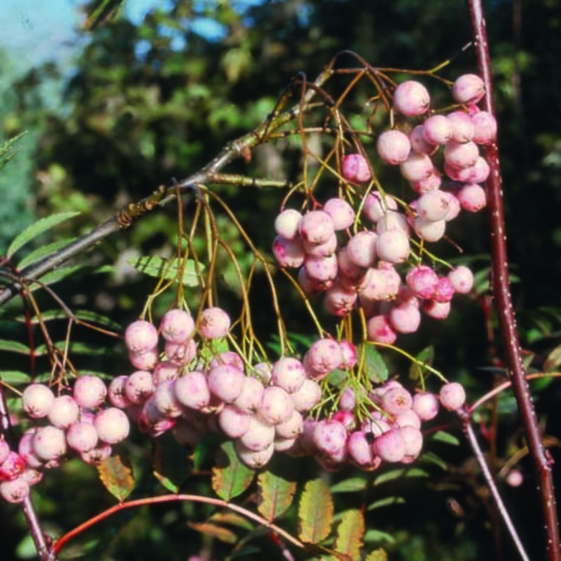 Sorbus rosea 'Rosiness'