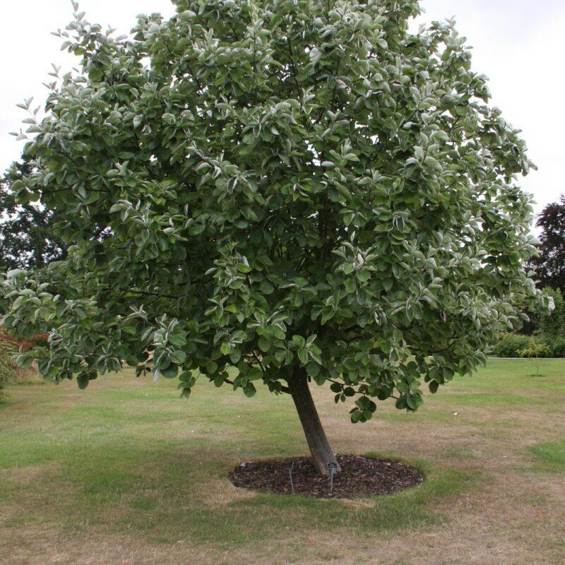 Sorbus thibetica 'John Mitchell' 1