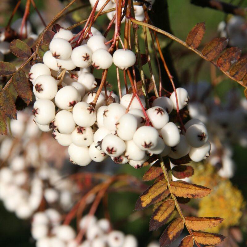 Sorbus 'White Wax'