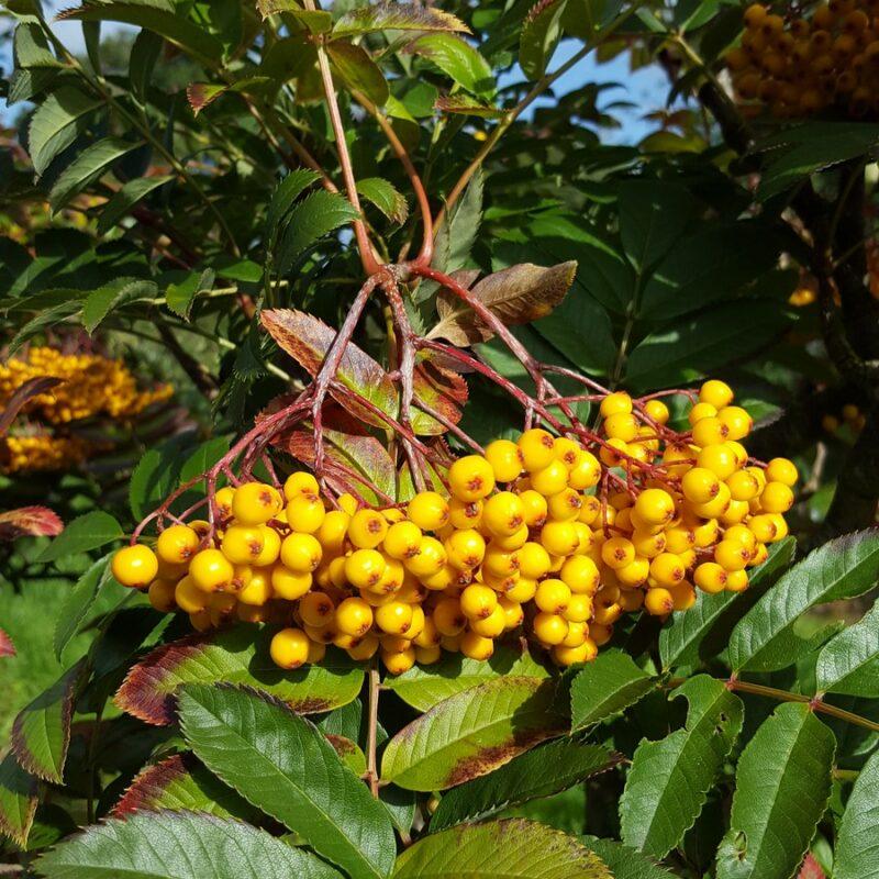 Sorbus 'Wisley Gold'