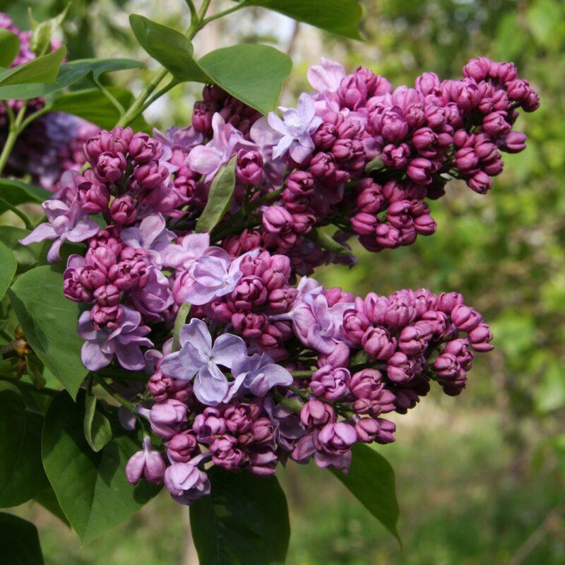 Syringa vulgaris 'Katherine Havemeyer'